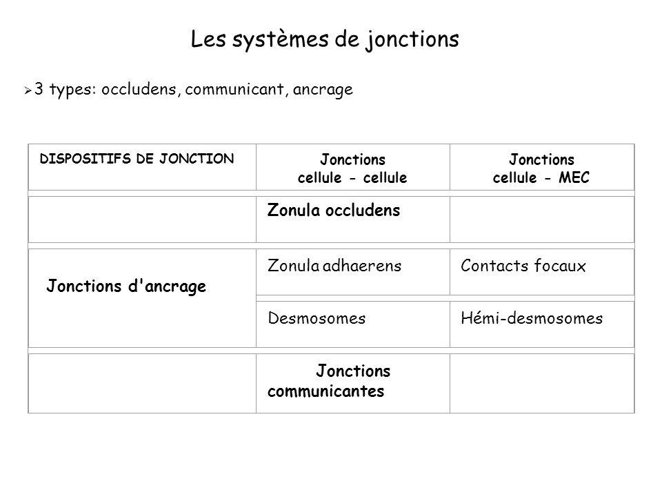 Les systèmes de jonctions 3 types: occludens, communicant, ancrage DISPOSITIFS DE JONCTION Jonctions cellule - cellule Jonctions cellule - MEC Zonula