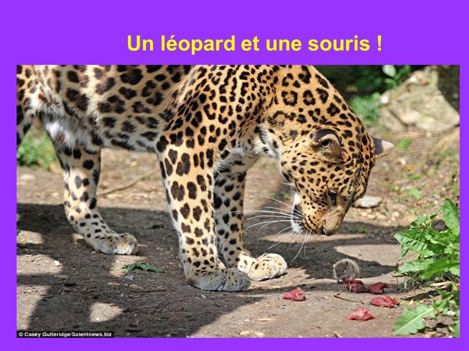 Un léopard et une souris !