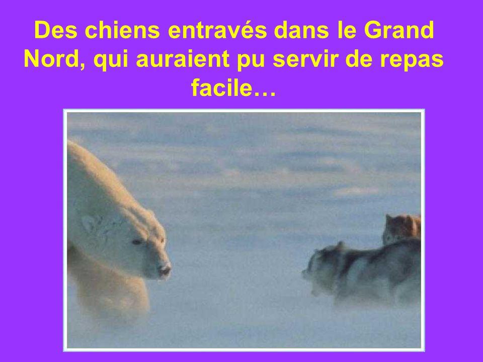 Des chiens entravés dans le Grand Nord, qui auraient pu servir de repas facile…