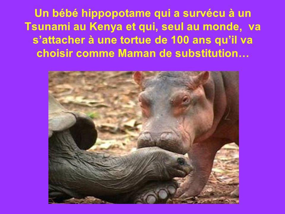 Un bébé hippopotame qui a survécu à un Tsunami au Kenya et qui, seul au monde, va sattacher à une tortue de 100 ans quil va choisir comme Maman de substitution…