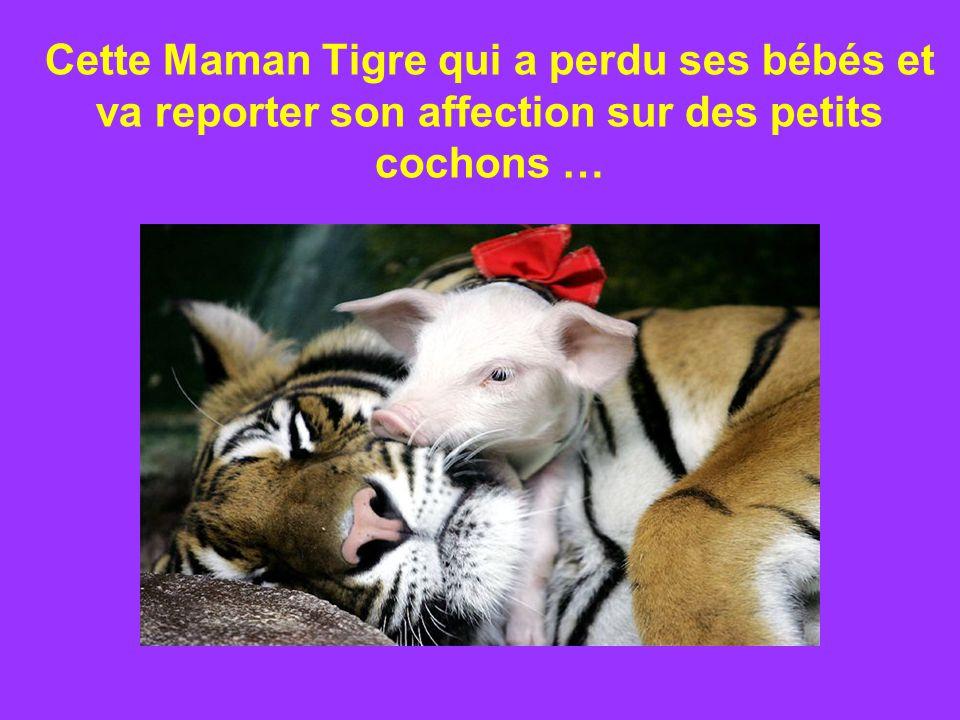Cette Maman Tigre qui a perdu ses bébés et va reporter son affection sur des petits cochons …