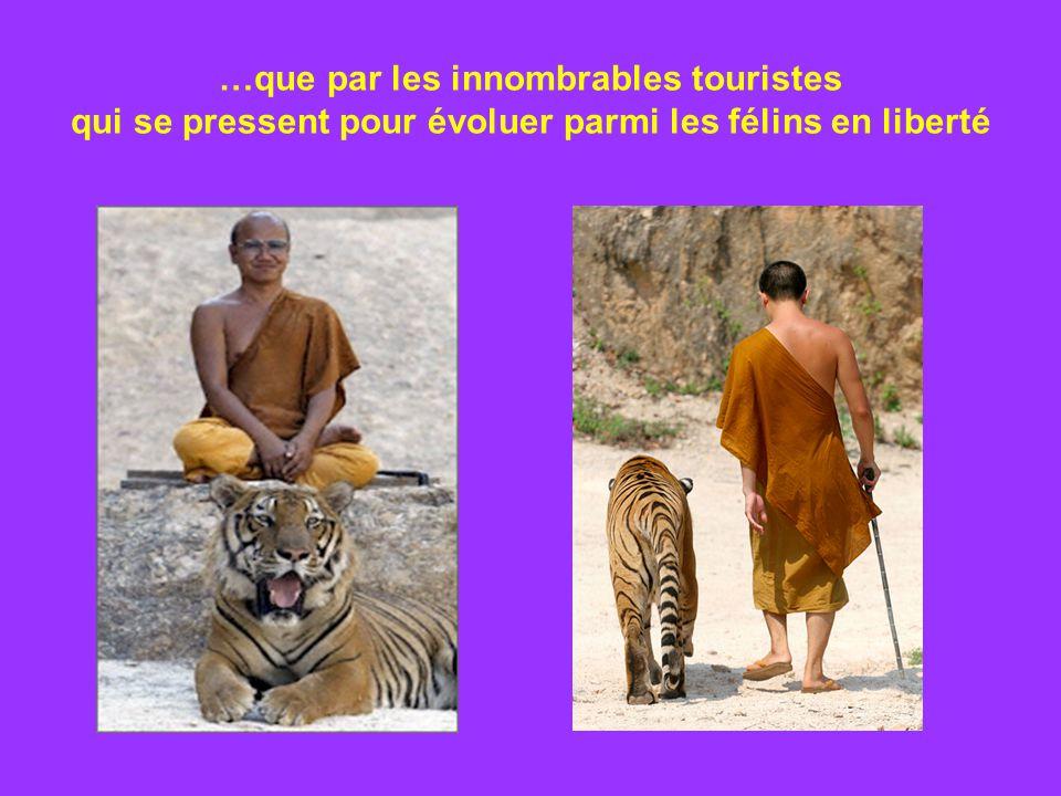 …que par les innombrables touristes qui se pressent pour évoluer parmi les félins en liberté