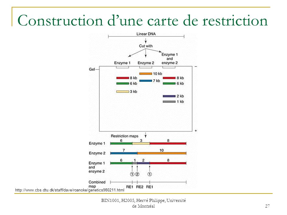 BIN1001, H2005, Hervé Philippe, Université de Montréal 27 Construction dune carte de restriction http://www.cbs.dtu.dk/staff/dave/roanoke/genetics9802