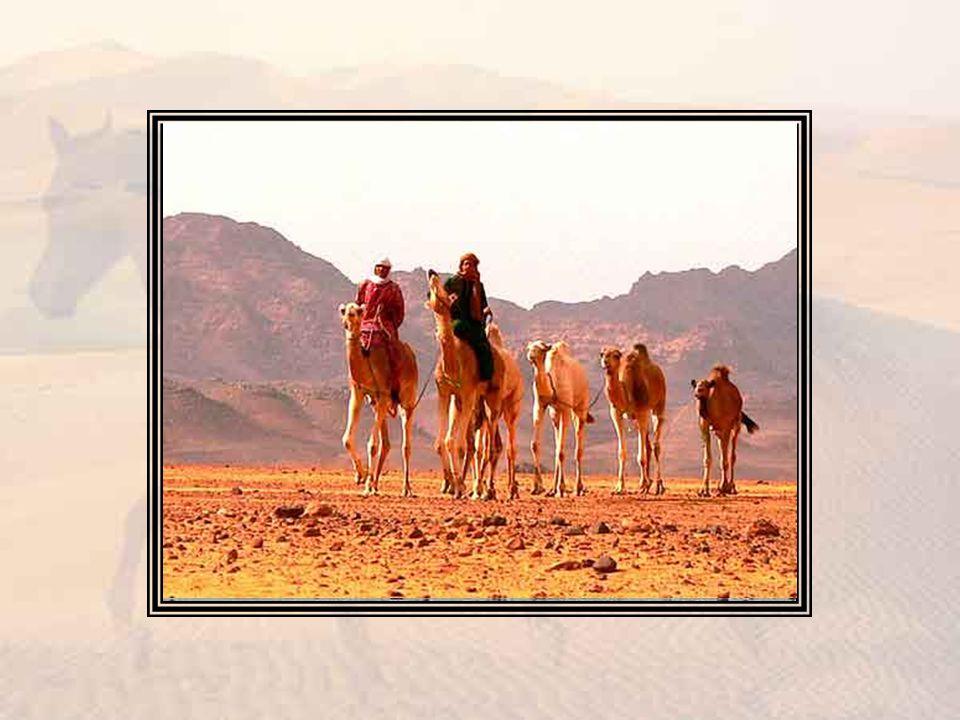 Sa parfaite maîtrise du cheval, sa connaissance des bêtes et des soins à leur donner, héritage de son séjour à Holkham, étaient hautement appréciées des Arabes.
