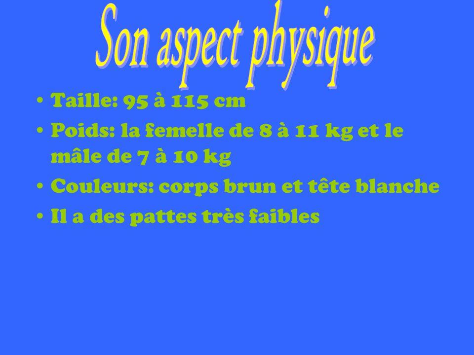 Taille: 95 à 115 cm Poids: la femelle de 8 à 11 kg et le mâle de 7 à 10 kg Couleurs: corps brun et tête blanche Il a des pattes très faibles