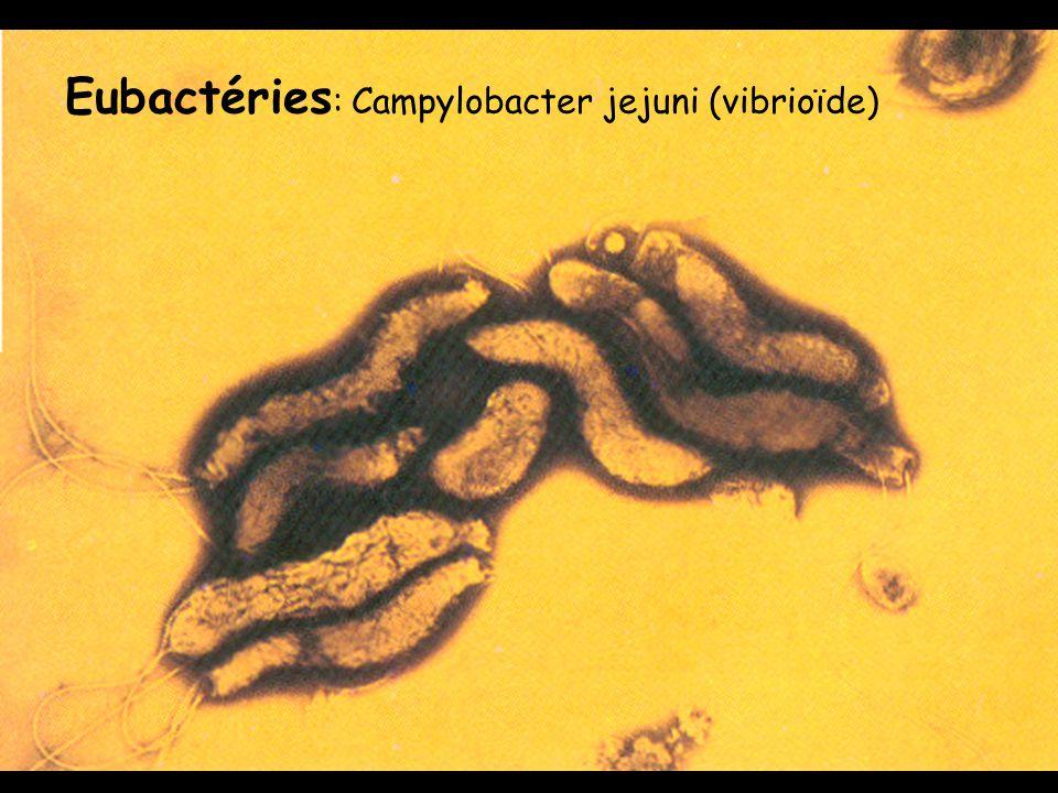 Eubactéries : Campylobacter jejuni (vibrioïde)