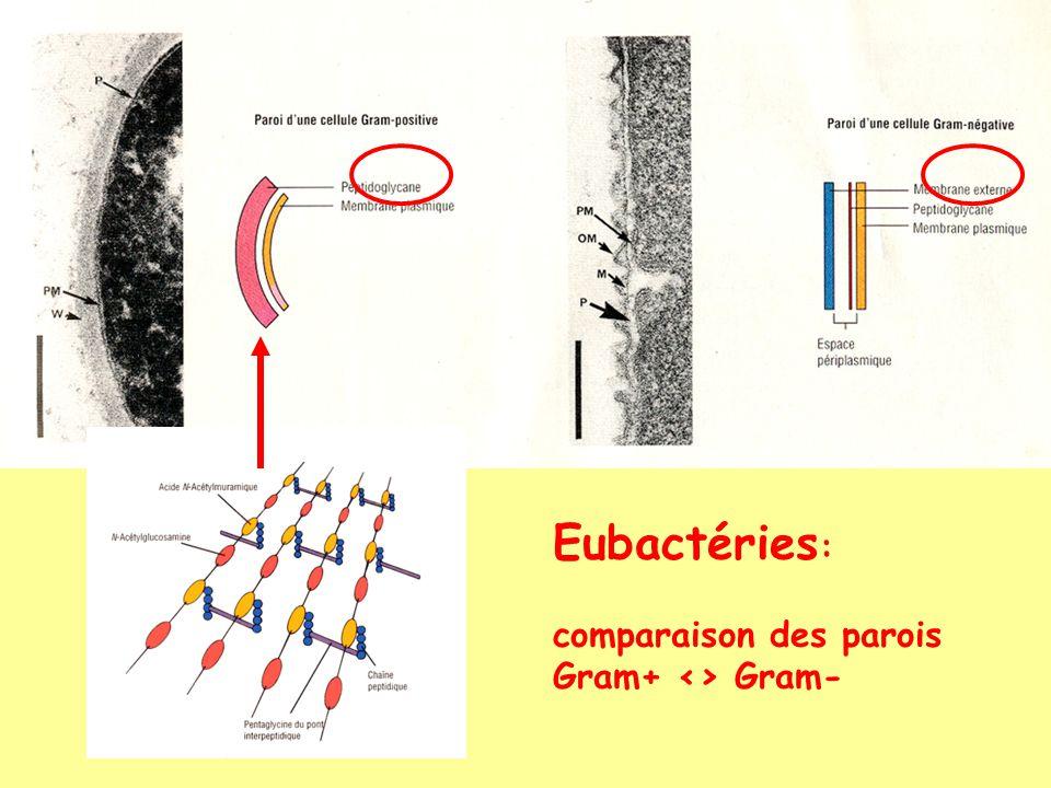 Eubactéries : comparaison des parois Gram+ <> Gram-