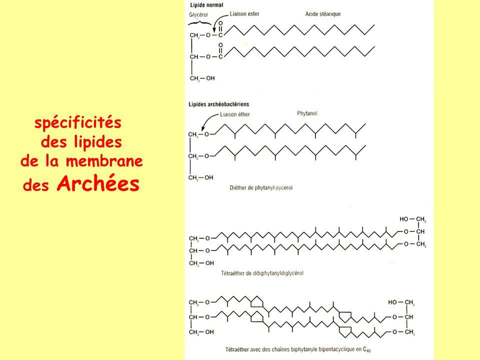 spécificités des lipides de la membrane des Archées