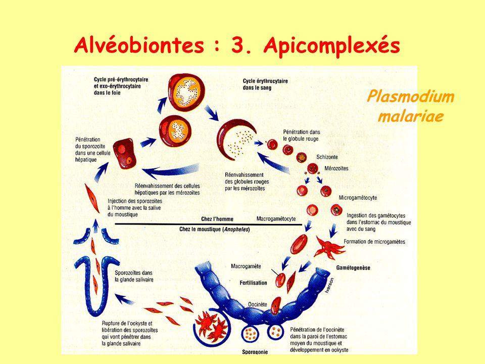 Alvéobiontes : 3. Apicomplexés Plasmodium malariae