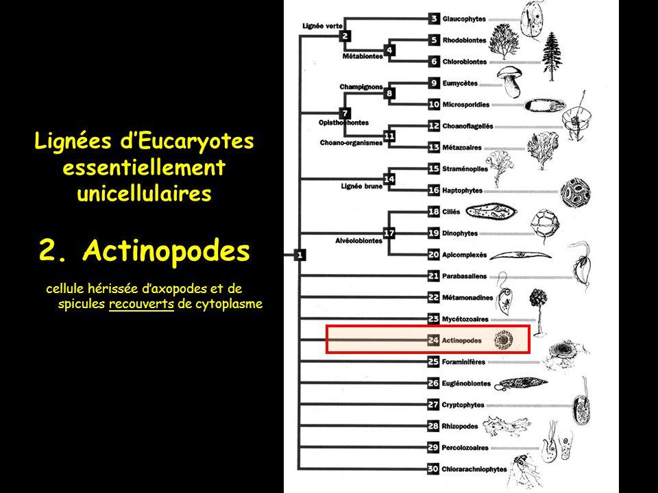 Lignées dEucaryotes essentiellement unicellulaires 2. Actinopodes cellule hérissée daxopodes et de spicules recouverts de cytoplasme