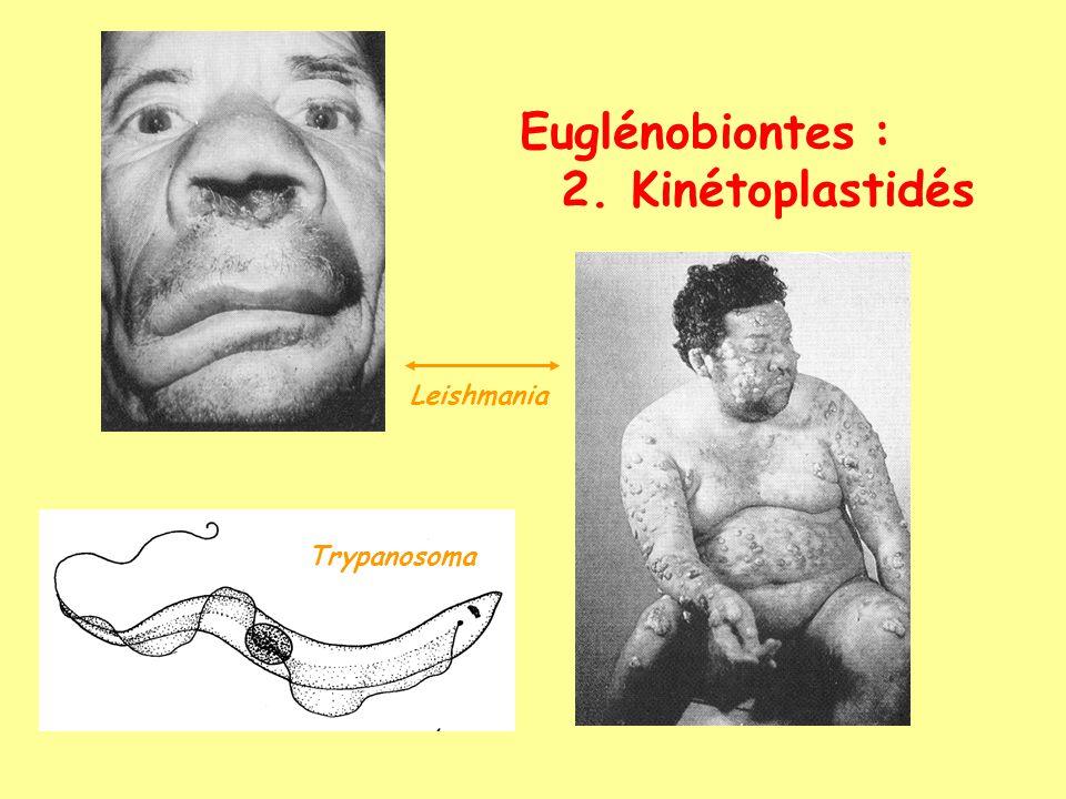 Euglénobiontes : 2. Kinétoplastidés Leishmania Trypanosoma