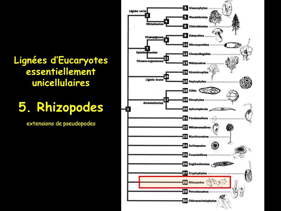 Lignées dEucaryotes essentiellement unicellulaires 5. Rhizopodes extensions de pseudopodes