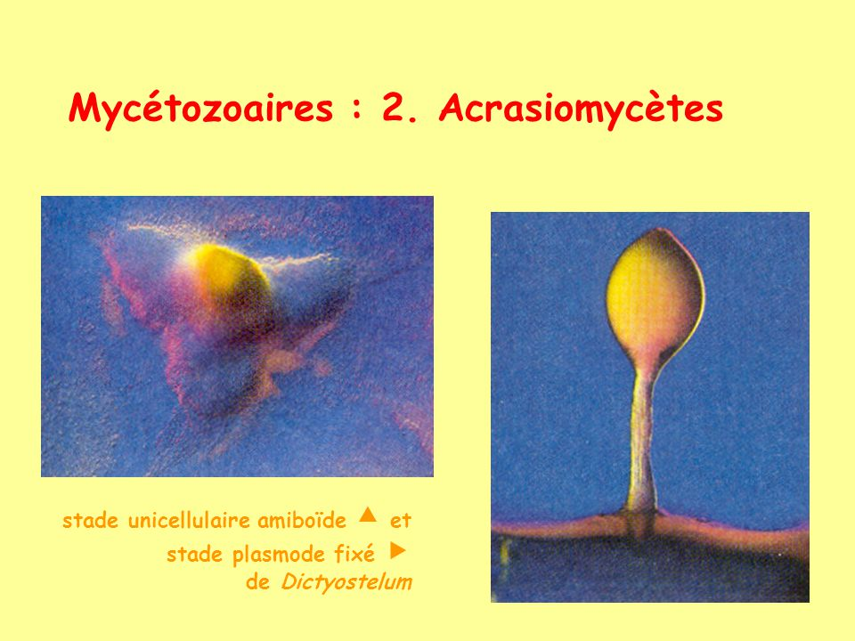 Mycétozoaires : 2. Acrasiomycètes stade unicellulaire amiboïde et stade plasmode fixé de Dictyostelum