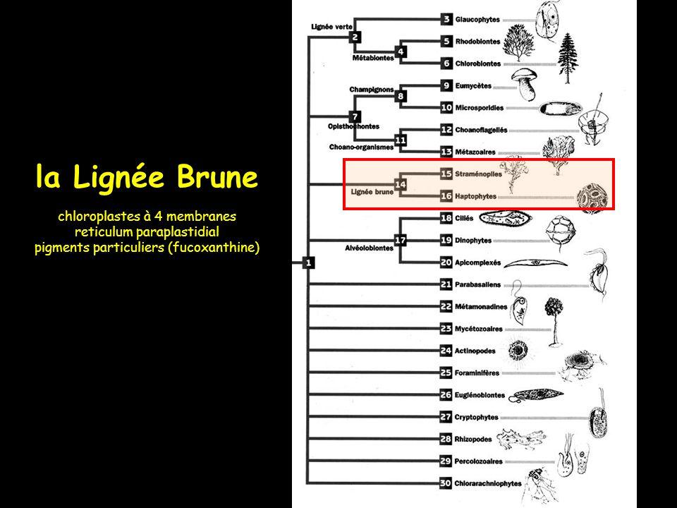 la Lignée Brune chloroplastes à 4 membranes reticulum paraplastidial pigments particuliers (fucoxanthine)