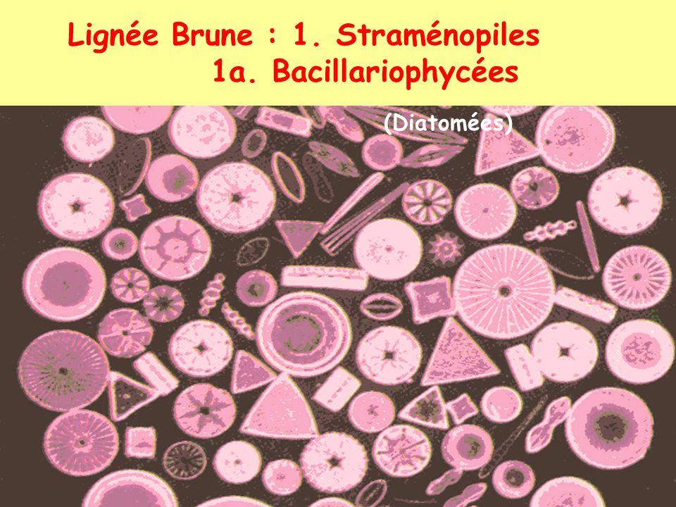 (Diatomées) Lignée Brune : 1. Straménopiles 1a. Bacillariophycées