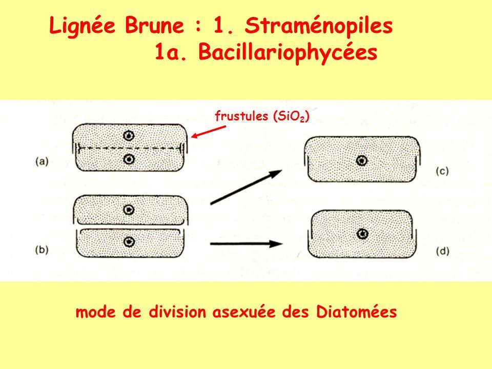 Lignée Brune : 1. Straménopiles 1a. Bacillariophycées mode de division asexuée des Diatomées frustules (SiO 2 )