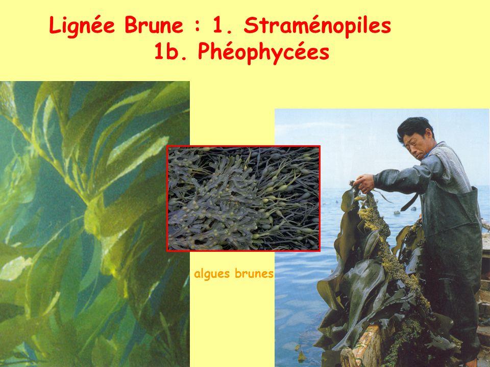 Lignée Brune : 1. Straménopiles 1b. Phéophycées algues brunes