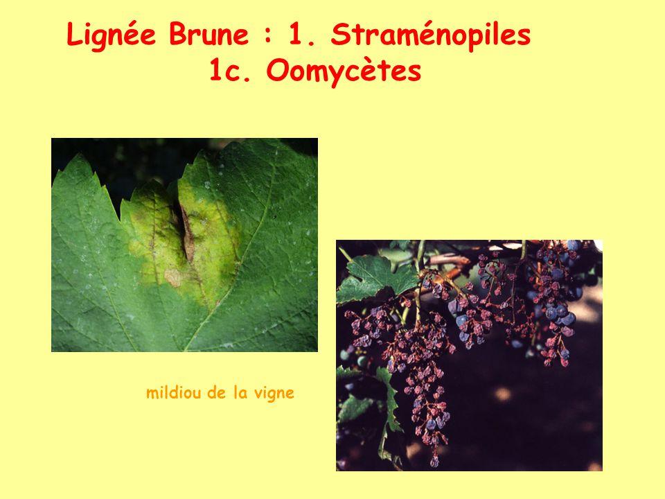 Lignée Brune : 1. Straménopiles 1c. Oomycètes mildiou de la vigne