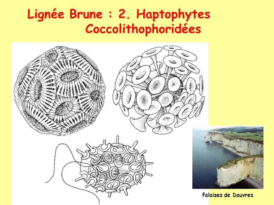 Lignée Brune : 2. Haptophytes Coccolithophoridées falaises de Douvres
