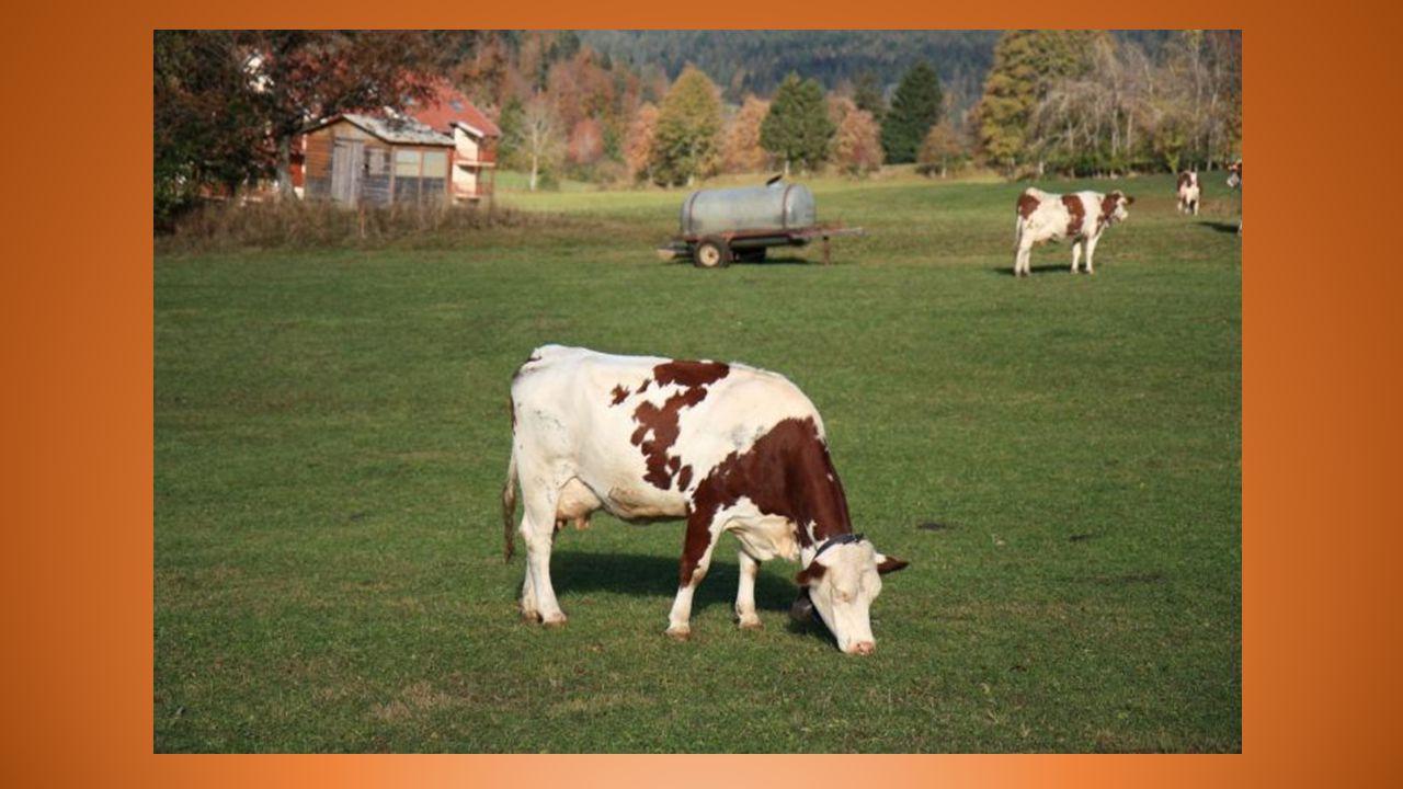 Il était une fois une petite vache Encore adolescente où le rêve est permis Qui se vautrait gaiement, toujours avec panache Dans les verts pissenlits de sa jolie prairie.