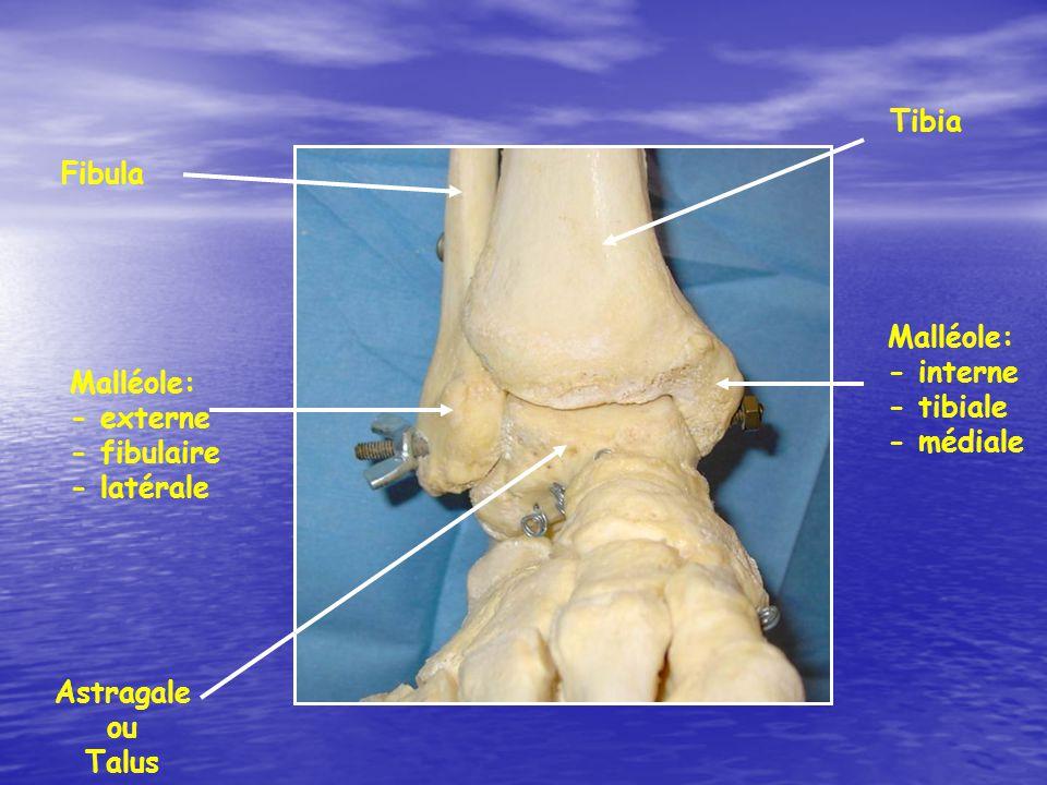 Tibia Fibula Astragale ou Talus Malléole: - externe - fibulaire - latérale Malléole: - interne - tibiale - médiale