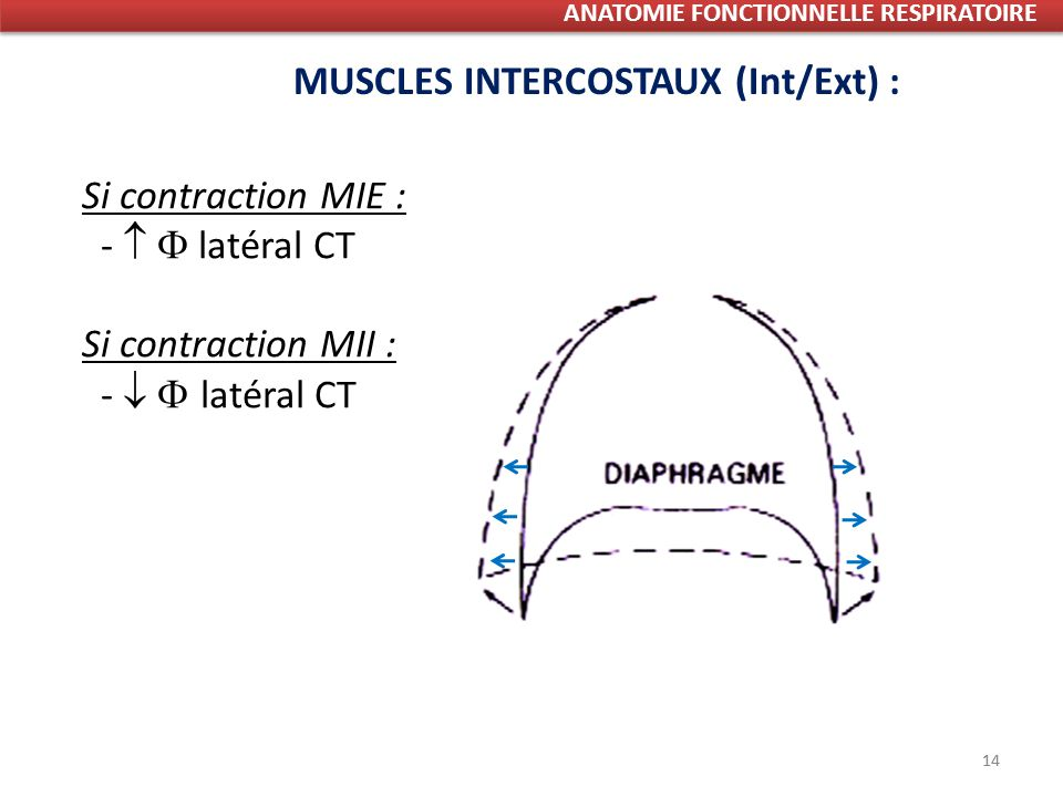 14 Si contraction MIE : - latéral CT Si contraction MII : - latéral CT MUSCLES INTERCOSTAUX (Int/Ext) : ANATOMIE FONCTIONNELLE RESPIRATOIRE