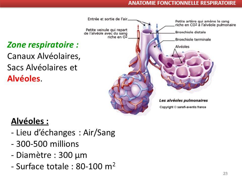 23 Alvéoles : - Lieu déchanges : Air/Sang - 300-500 millions - Diamètre : 300 µm - Surface totale : 80-100 m 2 Zone respiratoire : Canaux Alvéolaires, Sacs Alvéolaires et Alvéoles.