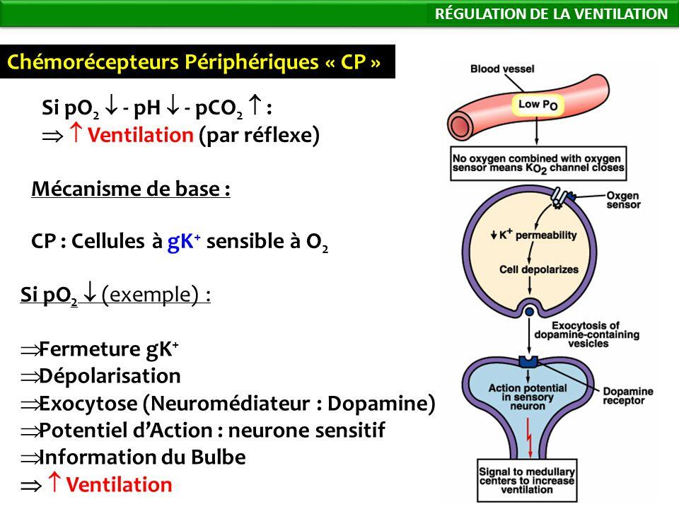 78 Chémorécepteurs Périphériques « CP » Si pO 2 - pH - pCO 2 : Ventilation (par réflexe) Mécanisme de base : CP : Cellules à gK + sensible à O 2 Si pO 2 (exemple) : Fermeture gK + Dépolarisation Exocytose (Neuromédiateur : Dopamine) Potentiel dAction : neurone sensitif Information du Bulbe Ventilation Régulation de la Ventilation RÉGULATION DE LA VENTILATION