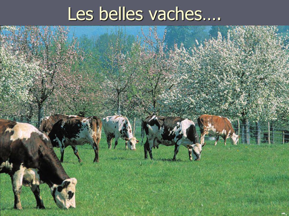 Les belles vaches….