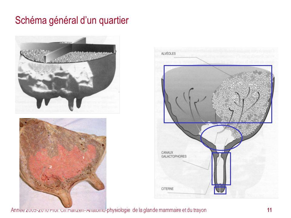 11 Année 2009-2010 Prof. Ch.Hanzen- Anatomo-physiologie de la glande mammaire et du trayon Schéma général dun quartier