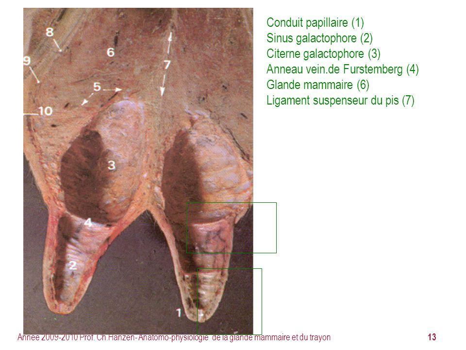 13 Année 2009-2010 Prof. Ch.Hanzen- Anatomo-physiologie de la glande mammaire et du trayon Conduit papillaire (1) Sinus galactophore (2) Citerne galac