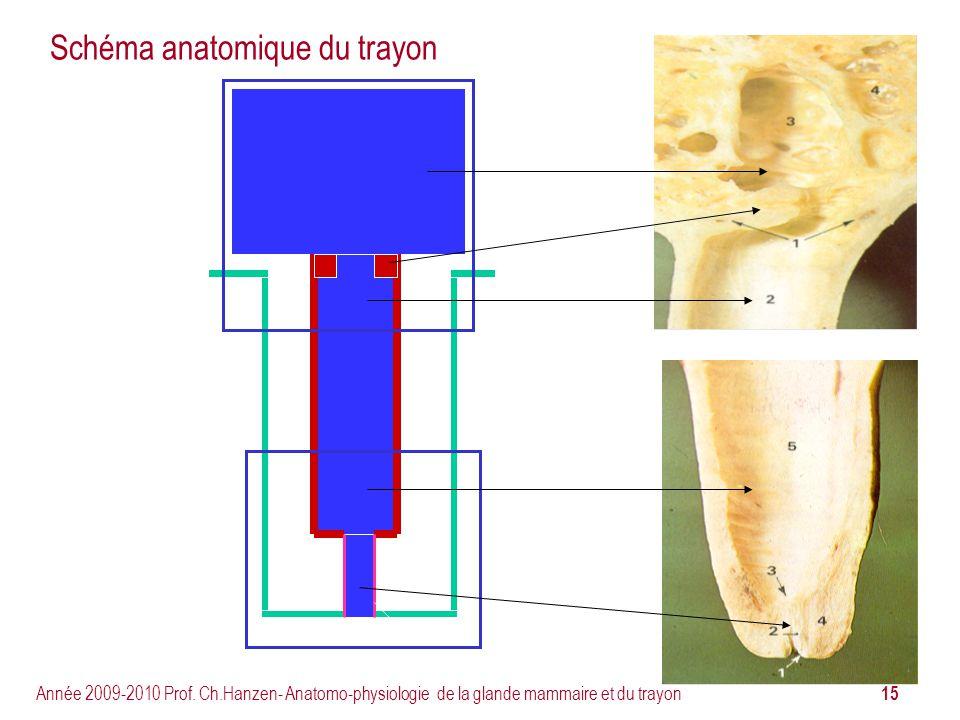 15 Année 2009-2010 Prof. Ch.Hanzen- Anatomo-physiologie de la glande mammaire et du trayon Schéma anatomique du trayon
