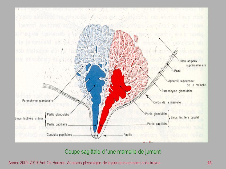 25 Année 2009-2010 Prof. Ch.Hanzen- Anatomo-physiologie de la glande mammaire et du trayon Coupe sagittale d une mamelle de jument