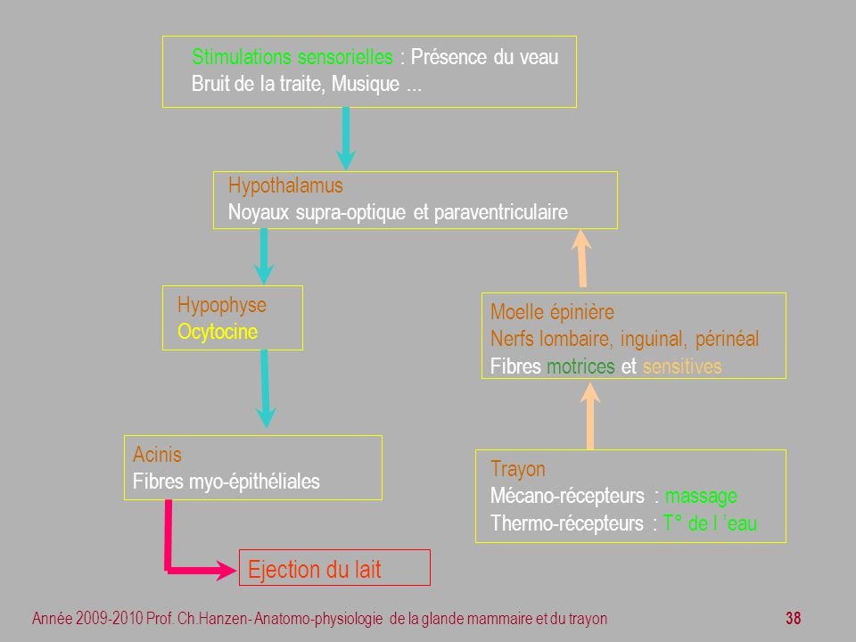 38 Année 2009-2010 Prof. Ch.Hanzen- Anatomo-physiologie de la glande mammaire et du trayon Hypophyse Ocytocine Acinis Fibres myo-épithéliales Trayon M