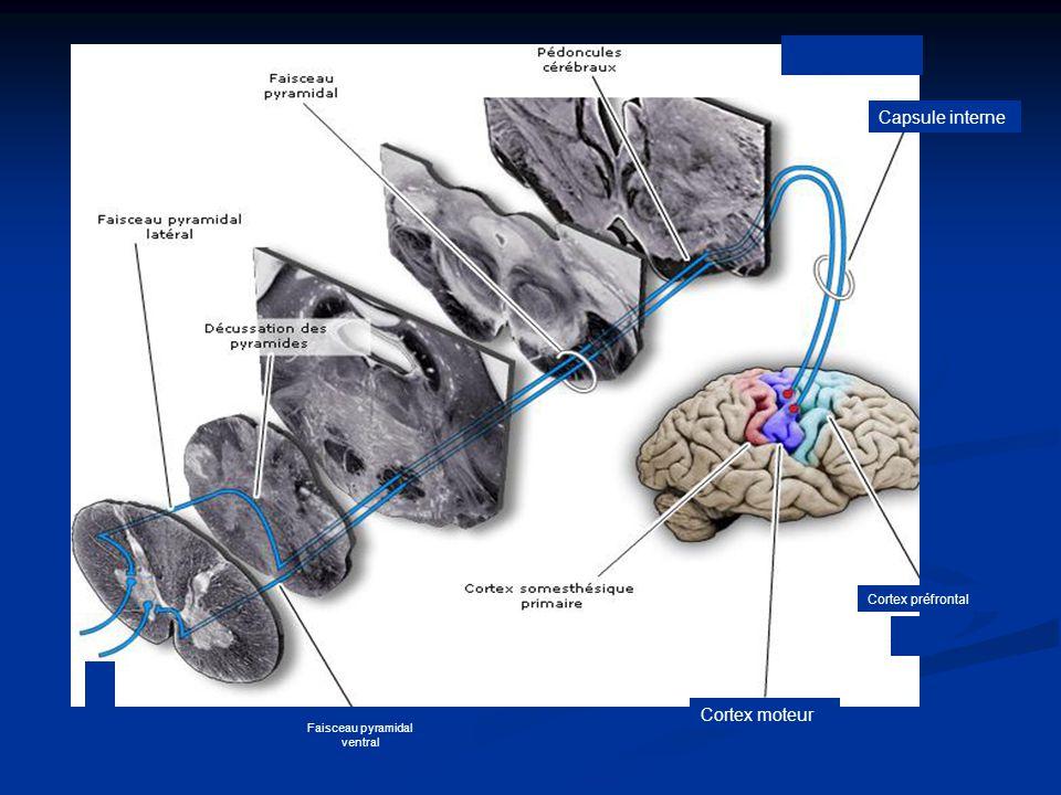 Faisceau pyramidal ventral Capsule interne Cortex préfrontal Cortex moteur