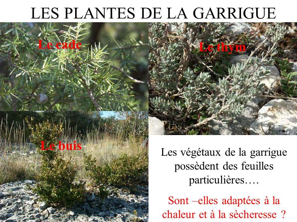 LES PLANTES DE LA GARRIGUE Les végétaux de la garrigue possèdent des feuilles particulières…. Sont –elles adaptées à la chaleur et à la sècheresse ? L