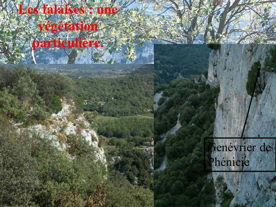 Les falaises : une végétation particulière. Genévrier de Phénicie