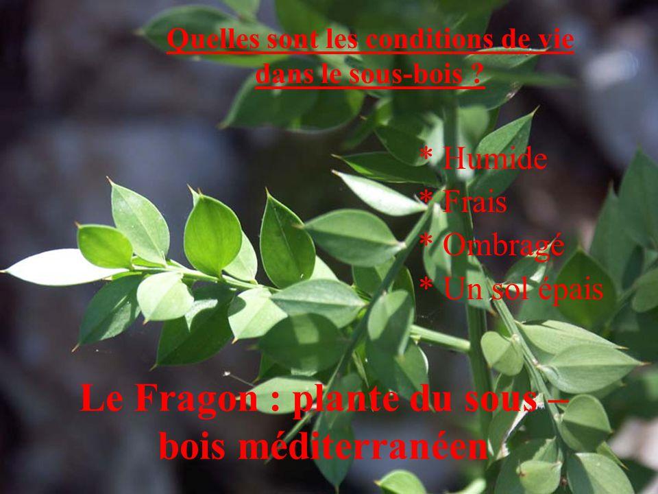 Le Fragon : plante du sous – bois méditerranéen Quelles sont les conditions de vie dans le sous-bois ? * Humide * Frais * Ombragé * Un sol épais