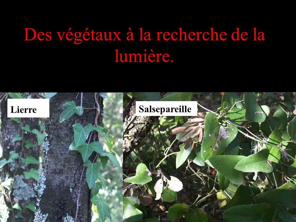 Des végétaux à la recherche de la lumière. Lierre Salsepareille