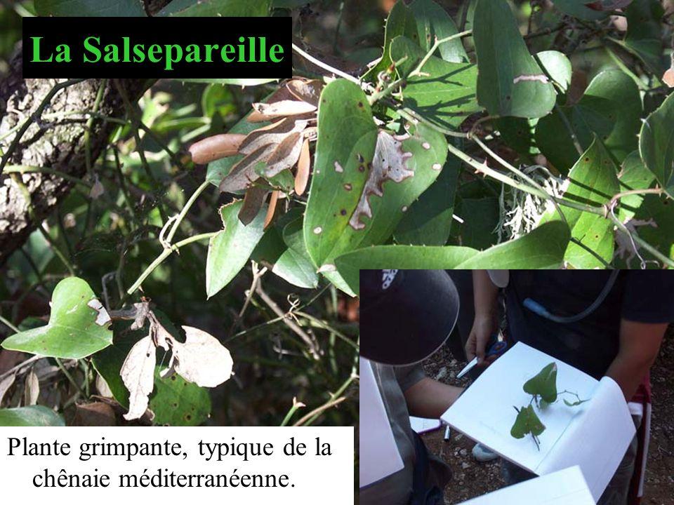 La Salsepareille Plante grimpante, typique de la chênaie méditerranéenne.