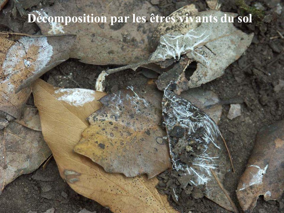 Décomposition par les êtres vivants du sol