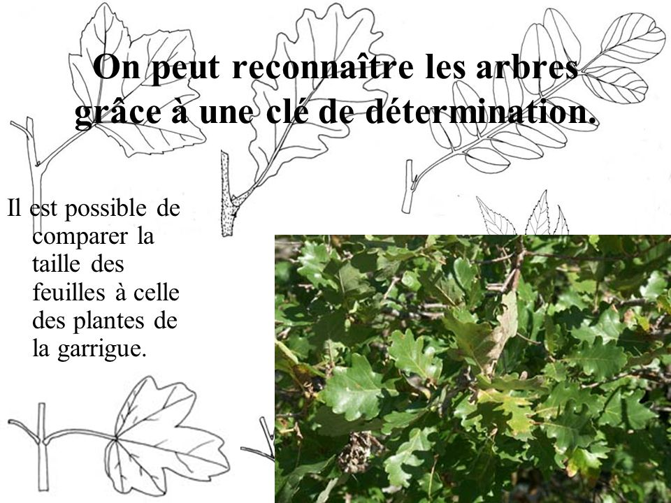 On peut reconnaître les arbres grâce à une clé de détermination. Il est possible de comparer la taille des feuilles à celle des plantes de la garrigue