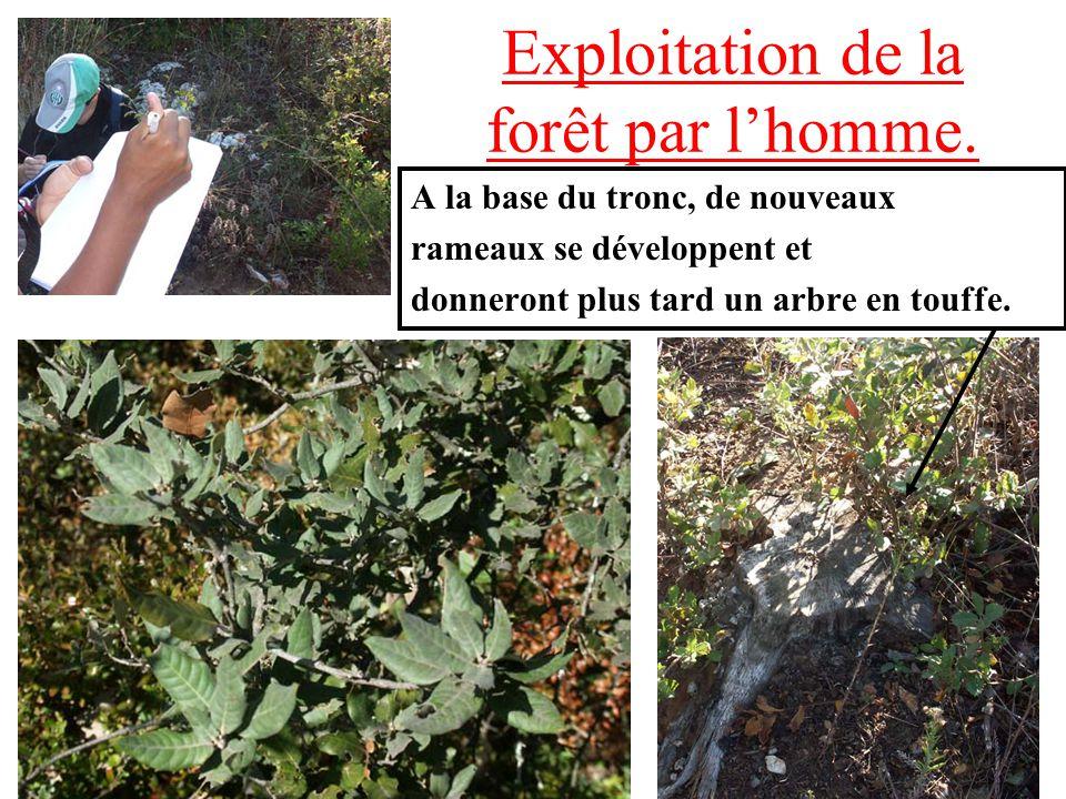 Exploitation de la forêt par lhomme. A la base du tronc, de nouveaux rameaux se développent et donneront plus tard un arbre en touffe.