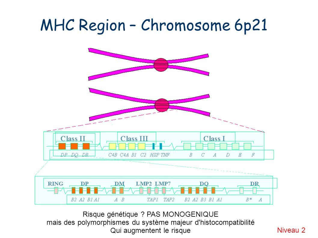 MHC Region – Chromosome 6p21 Niveau 2 Risque génétique .