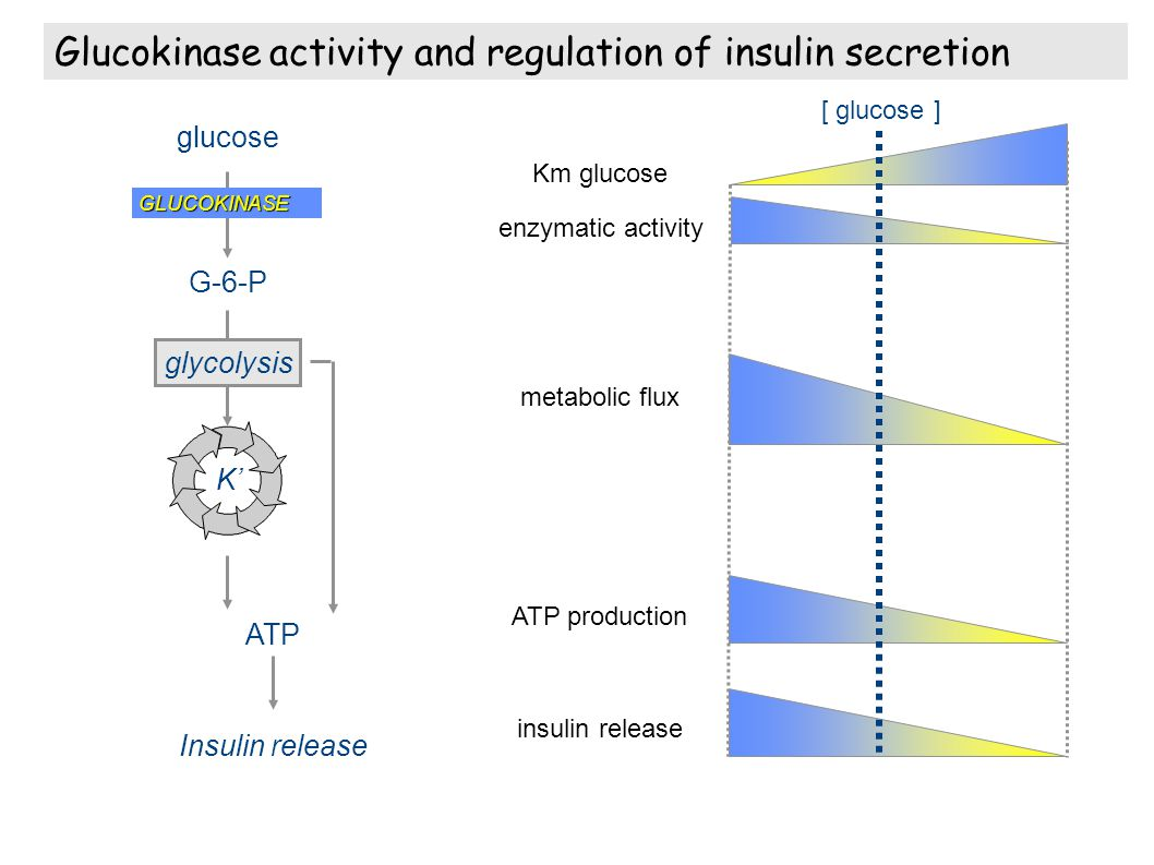 GLUCOKINASE glucose G-6-P Insulin release glycolysis ATP K Km glucose enzymatic activity metabolic flux ATP production insulin release [ glucose ] Glu