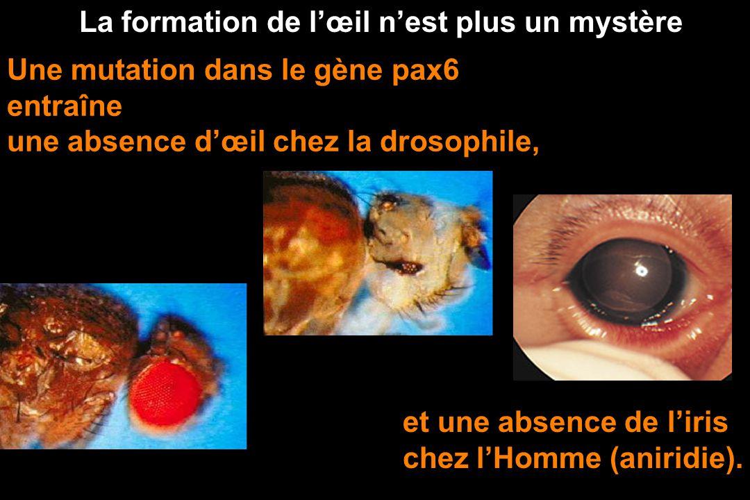 Les gènes hox de lhomme et de la souris sont apparentés. Ils proviennent de leur ancêtre commun. EVOLUTION PAR DUPLICATION ET DIVERSIFICATION DE GENES