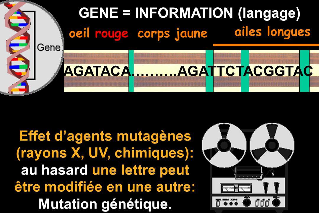 Les gènes (avec lenvironnement) contribuent à la détermination de nombreux caractères : Forme, couleur, groupes sanguins, le développement embryonnair