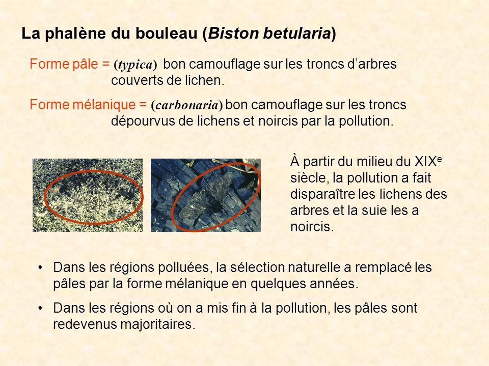La phalène du bouleau (Biston betularia) Forme pâle = (typica) bon camouflage sur les troncs darbres couverts de lichen. Forme mélanique = (carbonaria