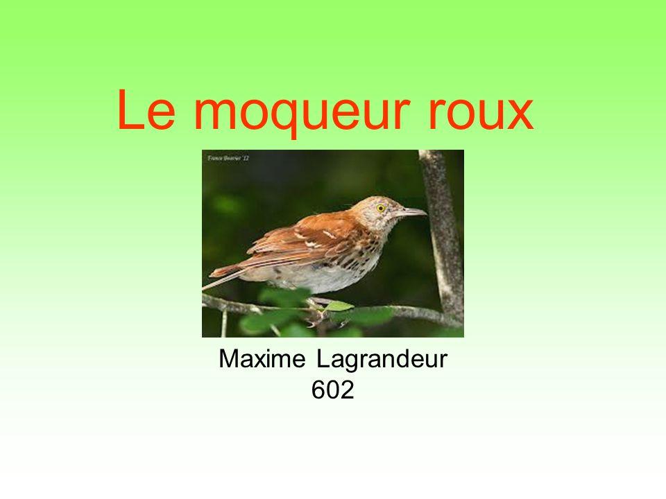 Le moqueur roux Maxime Lagrandeur 602