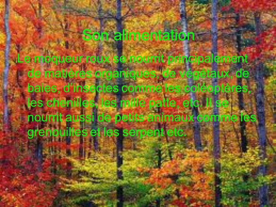 Son alimentation Le moqueur roux se nourrit principalement de matières organiques, de végétaux, de baies, dinsectes comme les coléoptères, les chenilles, les mille patte, etc.